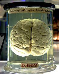 otak simpanse